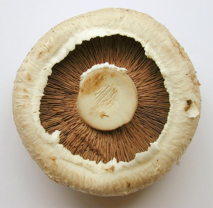 Free image of Culinary brown field or portobello mushroom