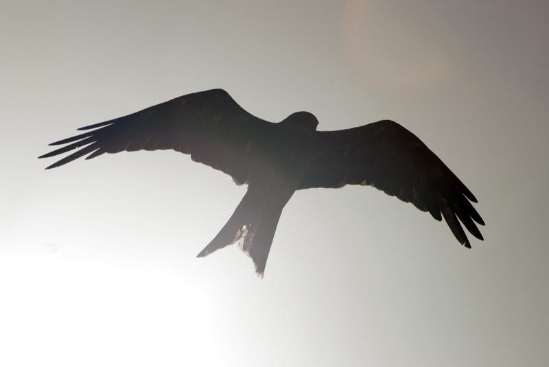 Silhouette of a hawk gliding overhead with its wings outstretched to show the full wingspan with sun flare