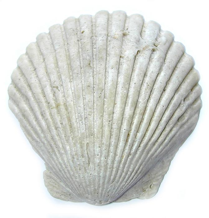 bivalve personals Pectin shells singles and pairs, large variety, fits all budgets noble pectin shell pairs the noble pectin pairs are bivalve shells.