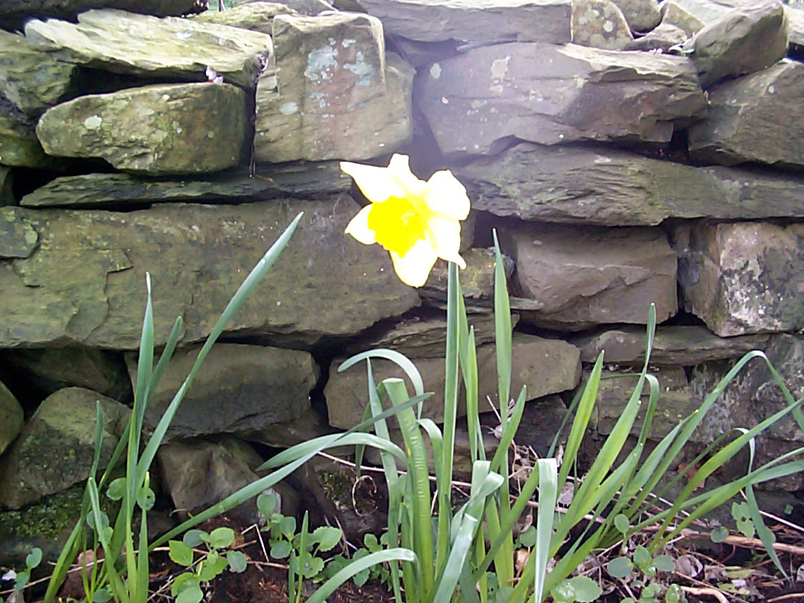 Daffodil in front of a stone wall
