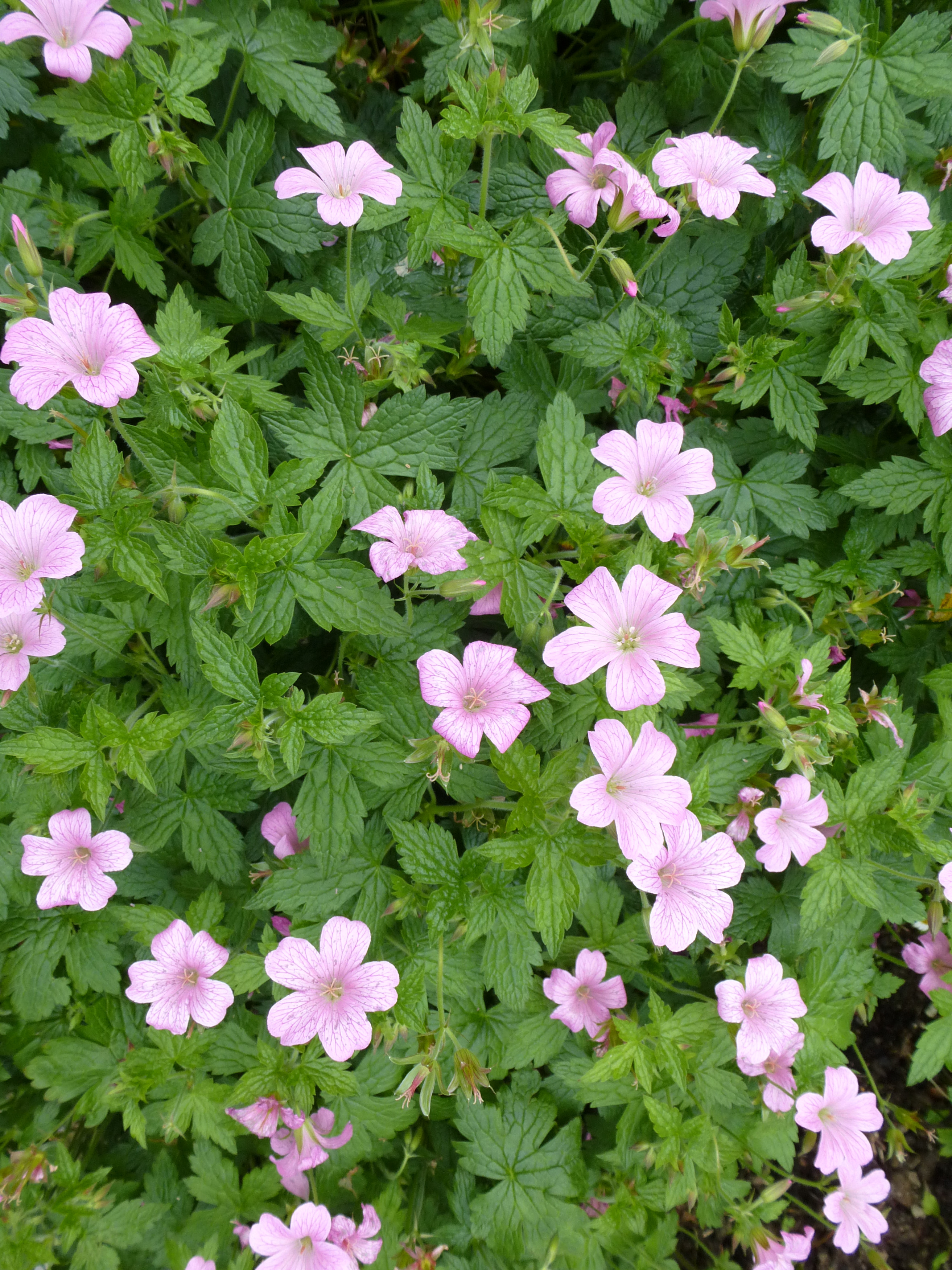 Free Image Of Pretty Pink Flowers On Bush