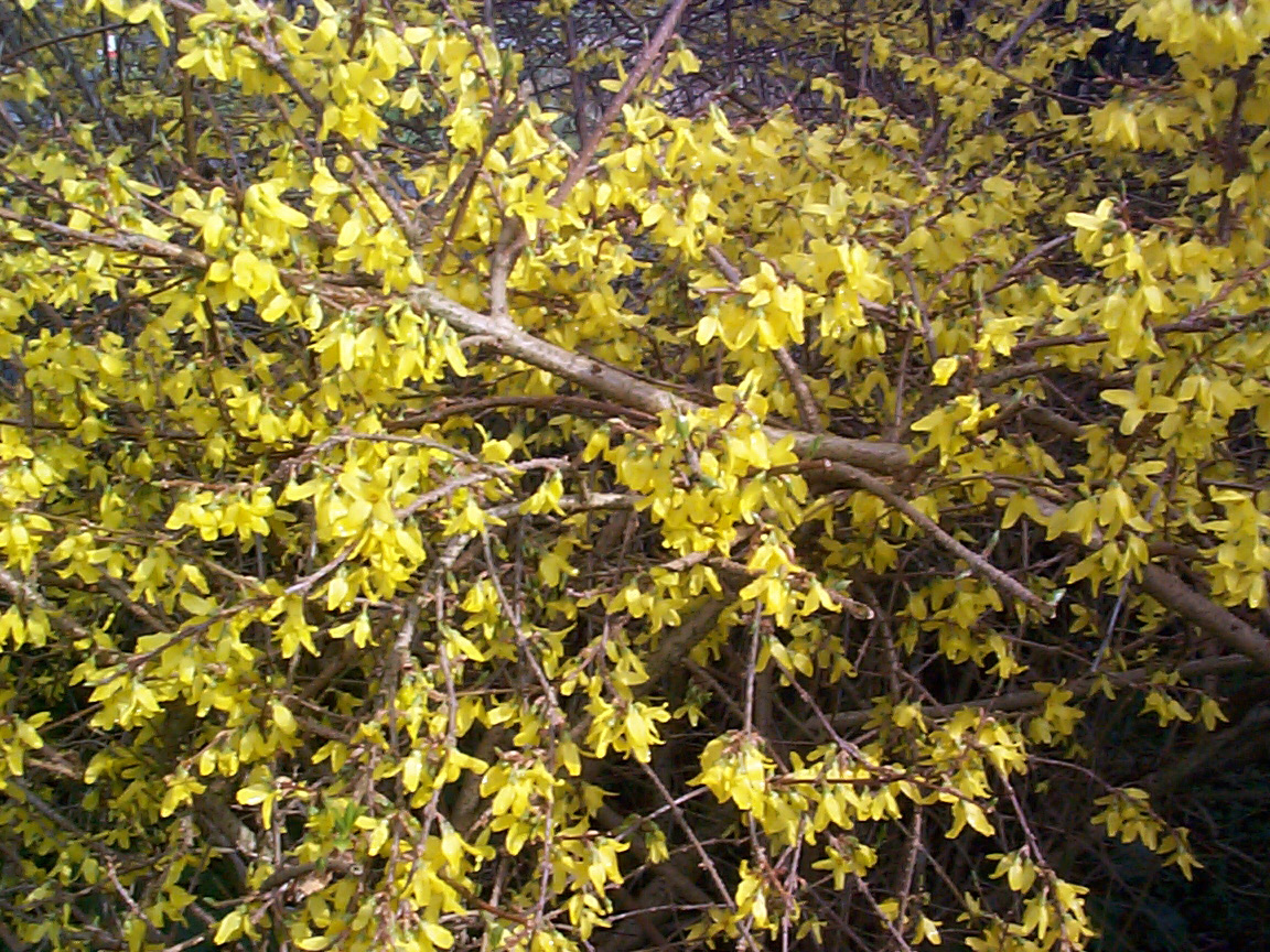 Free Image Of Bright Yellow Broom In Flower
