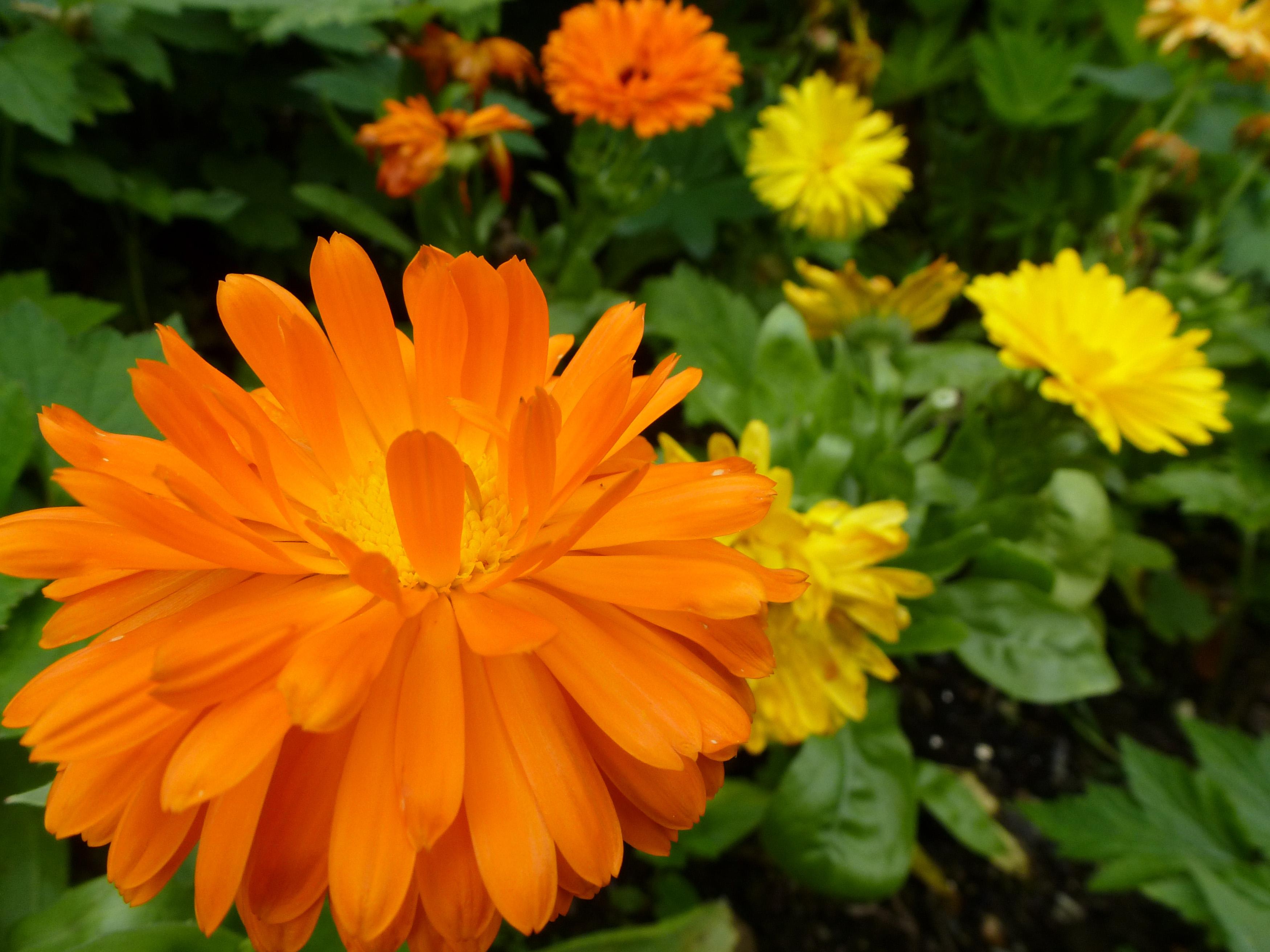 Free Image Of Large Round Daisy Flower