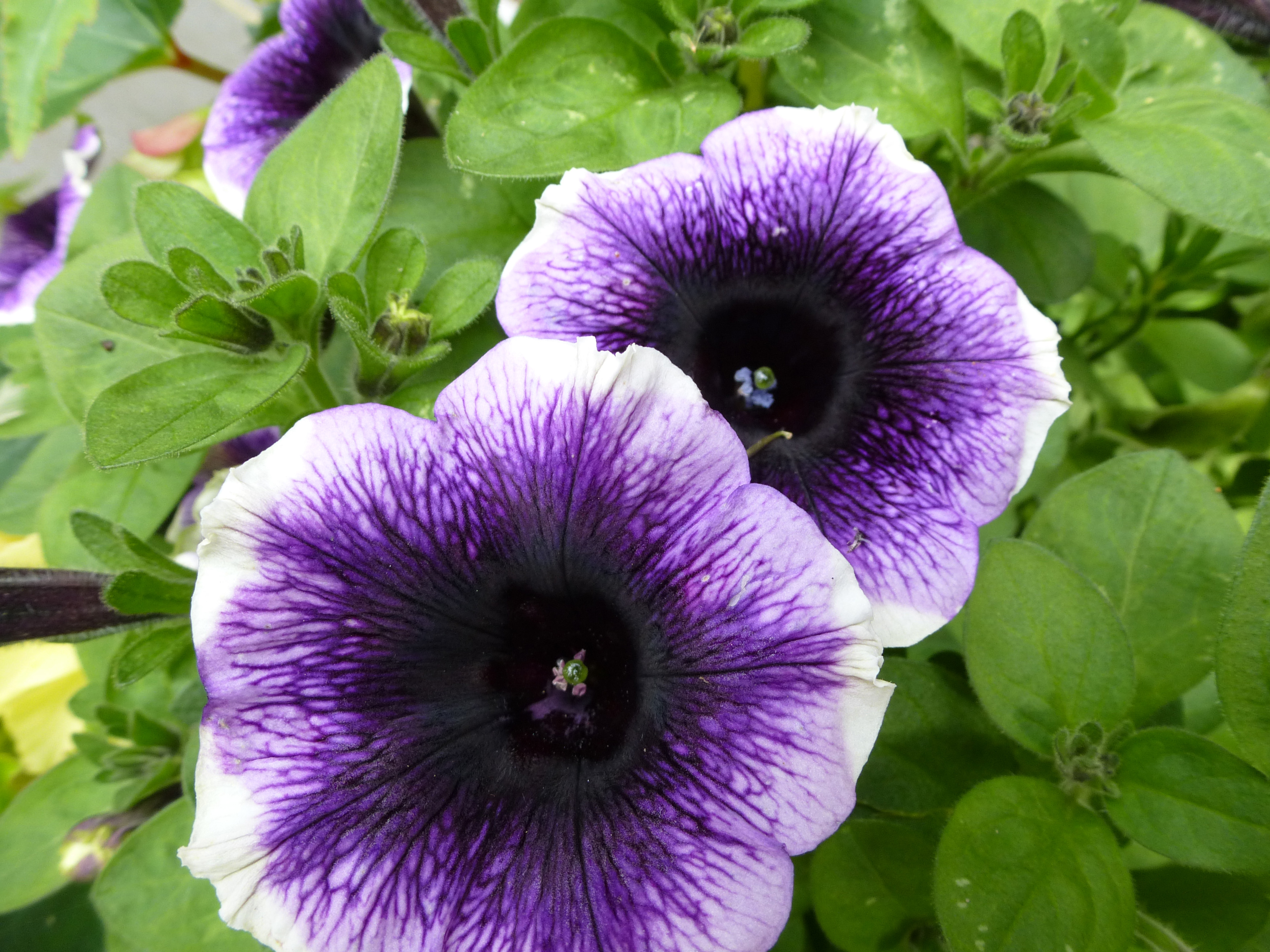 Free Image Of Variegated Purple And White Petunia