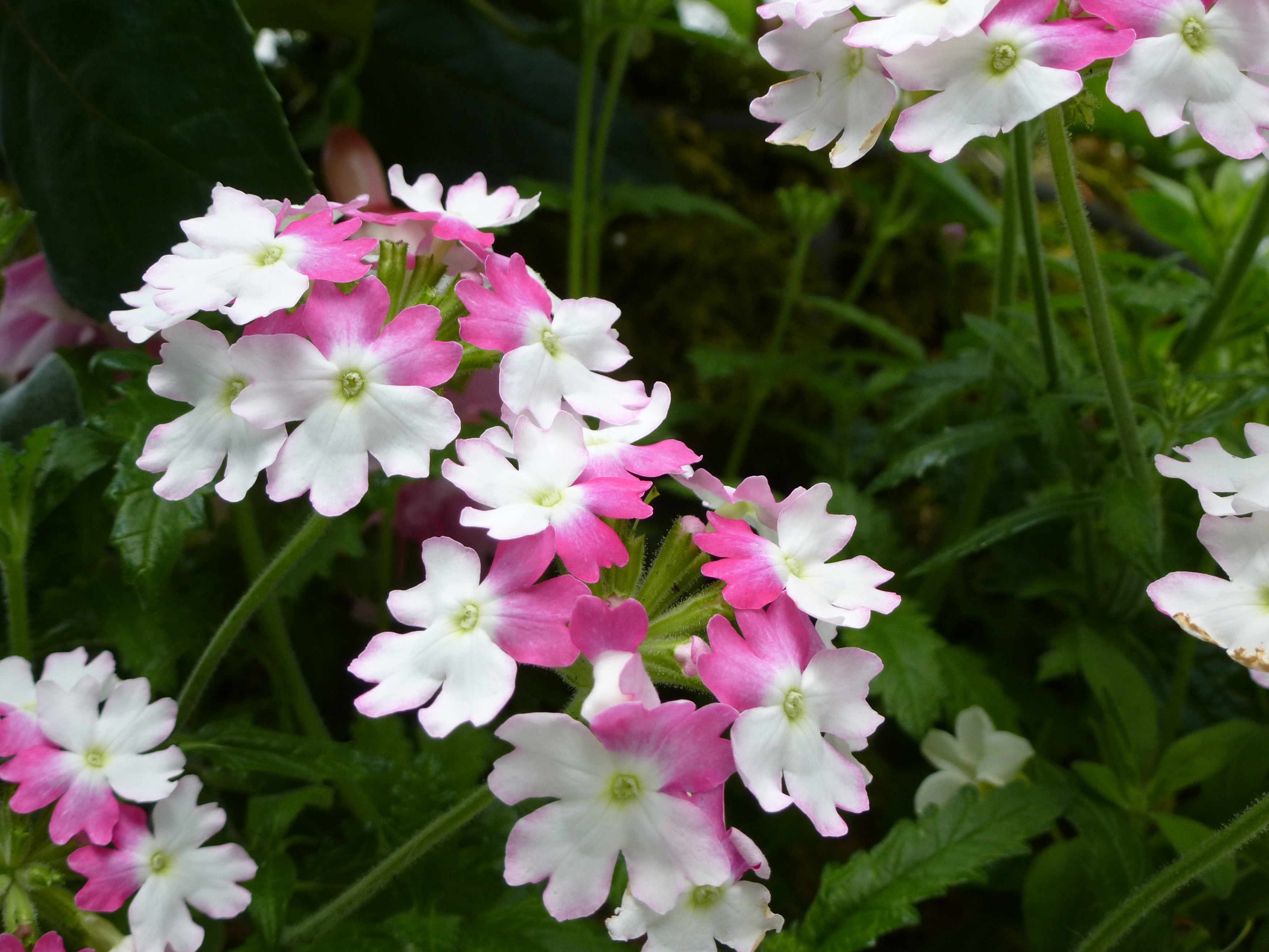 Free Image Of Half White And Pink Flowers