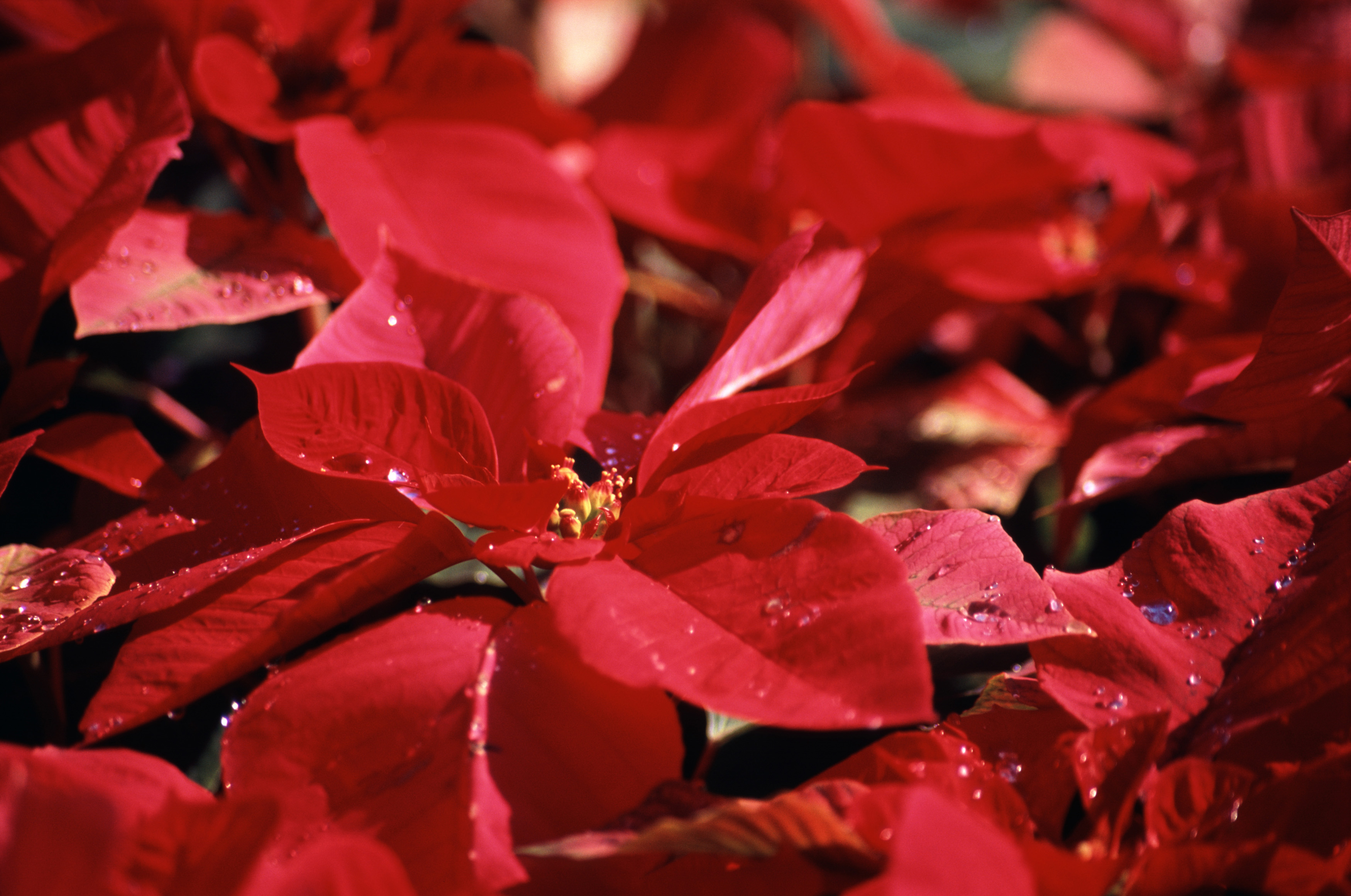 free image of colorful christmas background of red poinsettias