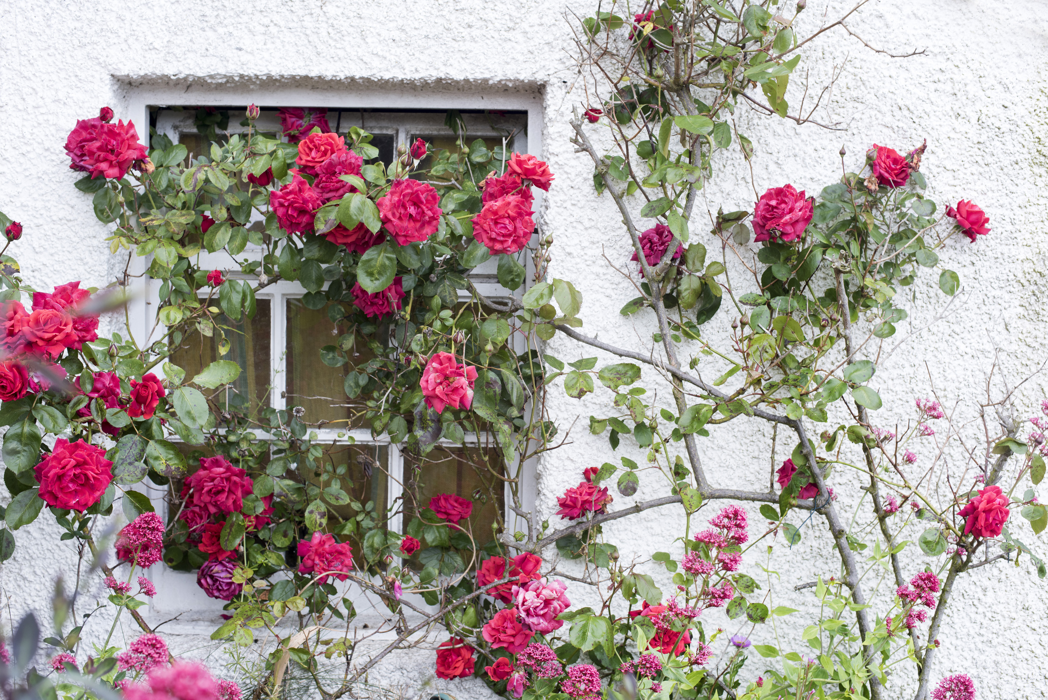 Free Image Of Scenic View Of Tall Rose Bush With Pink Flowers