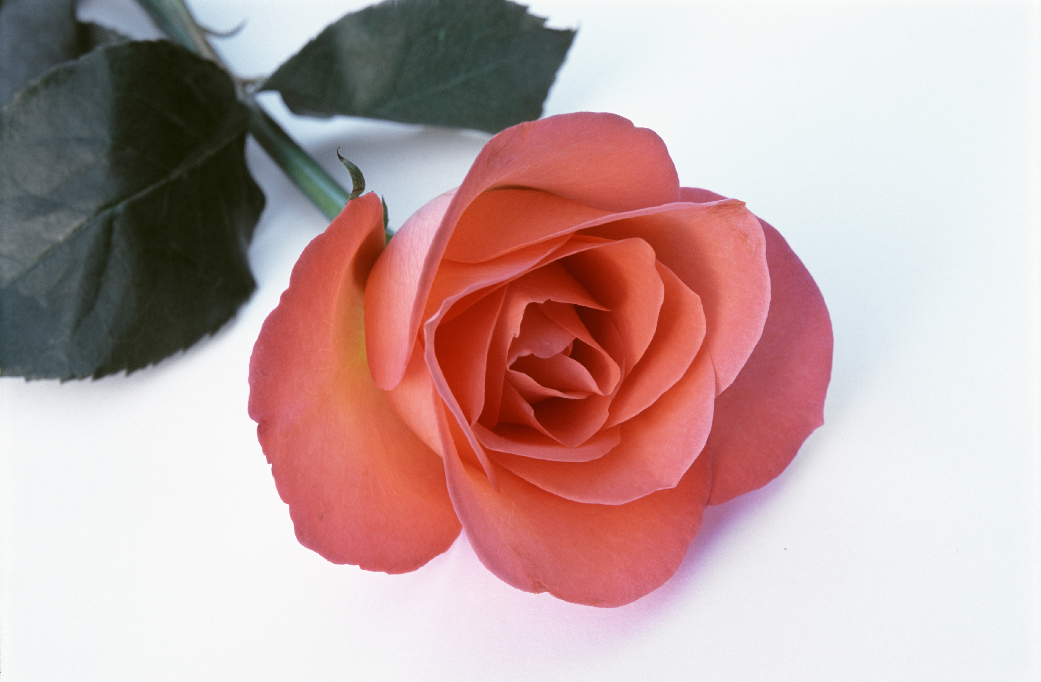 Free Image Of Single Romantic Red Rose On White