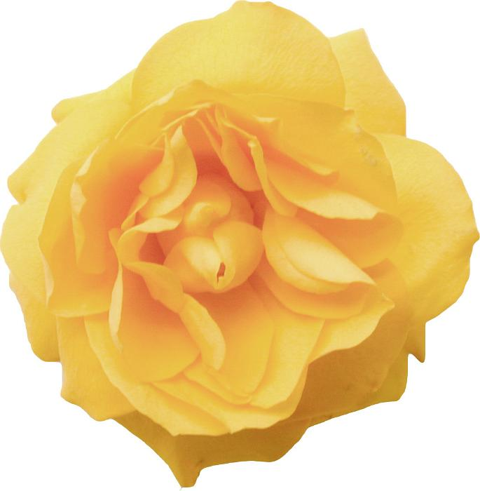 Free image of Isolated fresh yellow rose