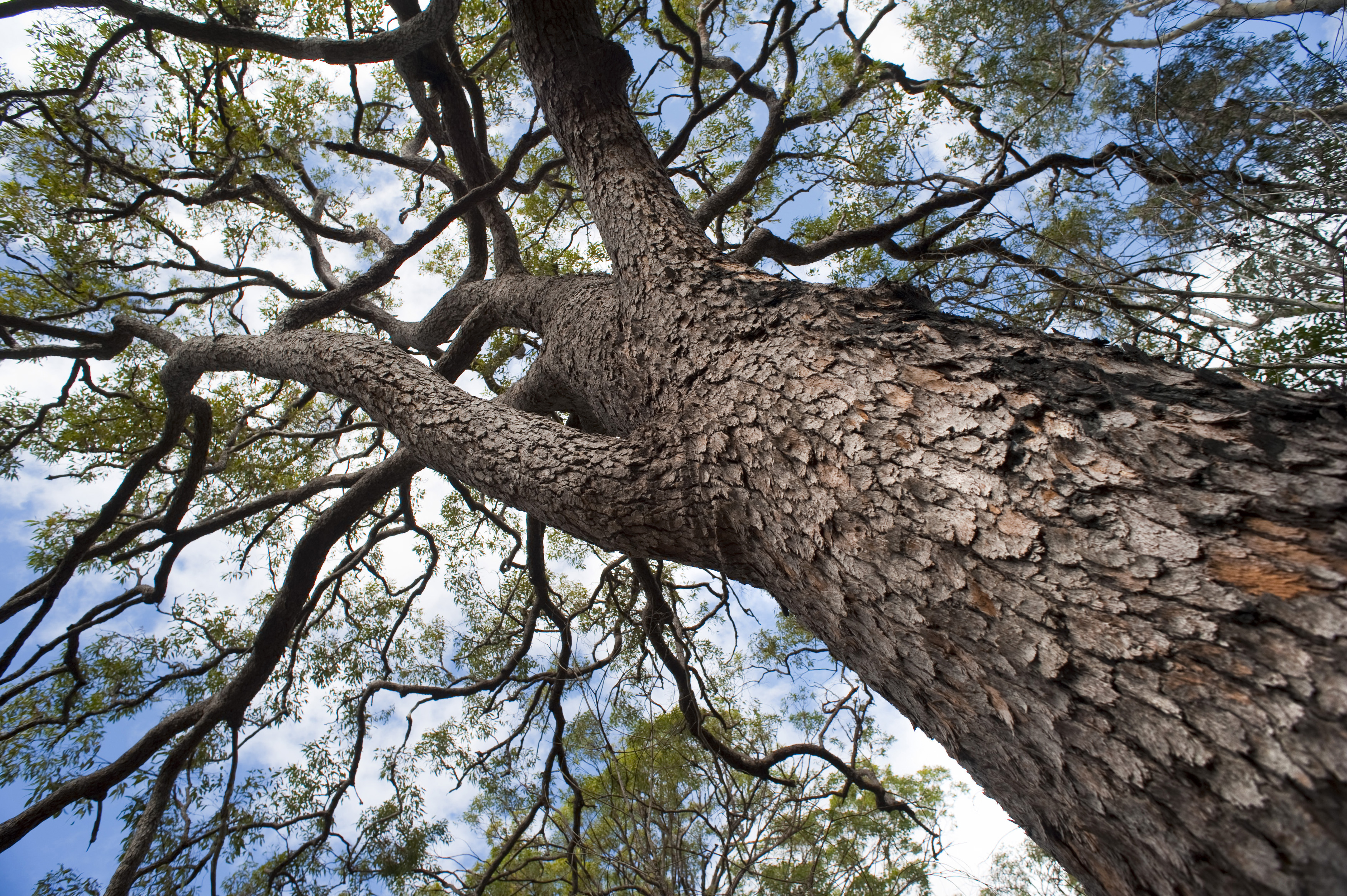 free image of looking up into the canopy of a large tree