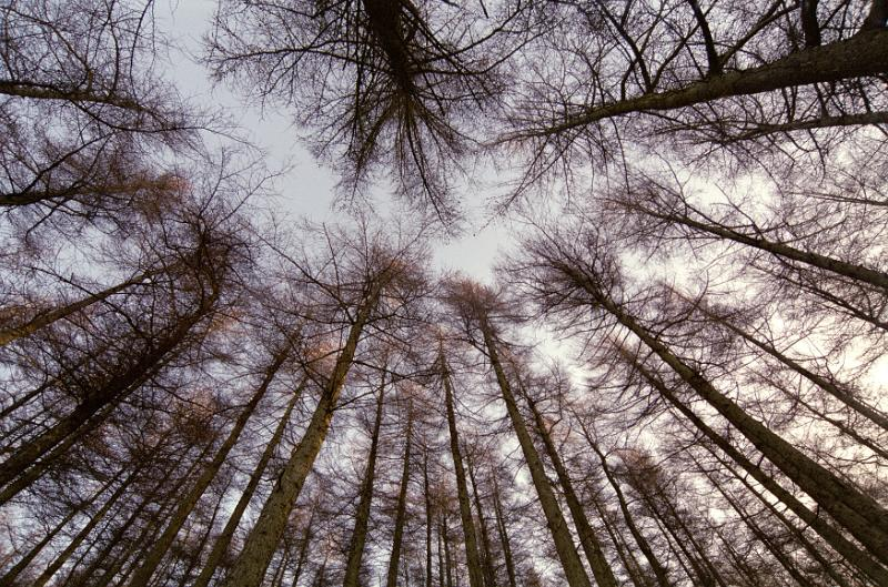 Low Angle View of Tall Bare Forest Trees Towering Above Toward Cloudy Sky