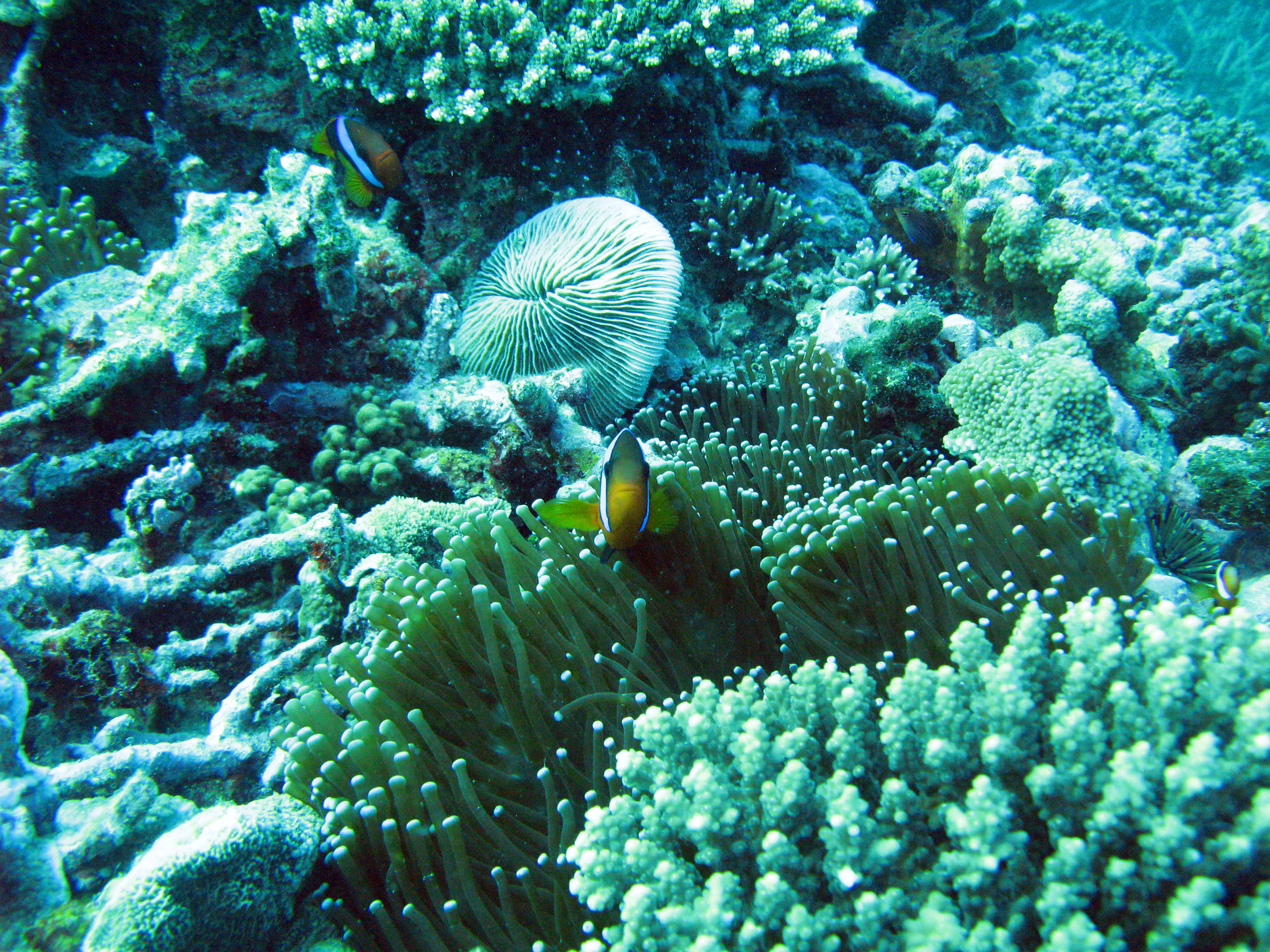 free image of clown fish corals and anemone