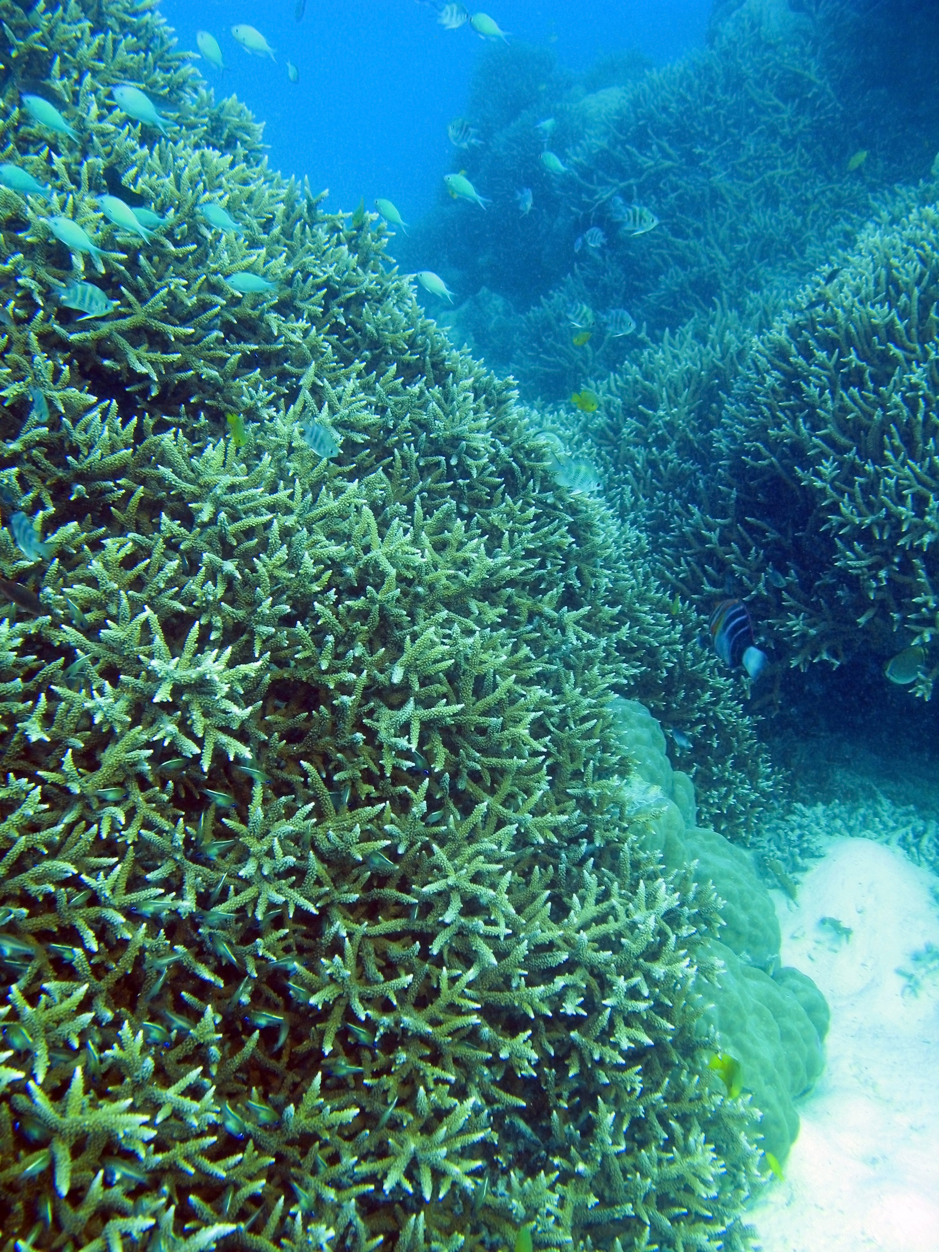 free image of fish and branching coral