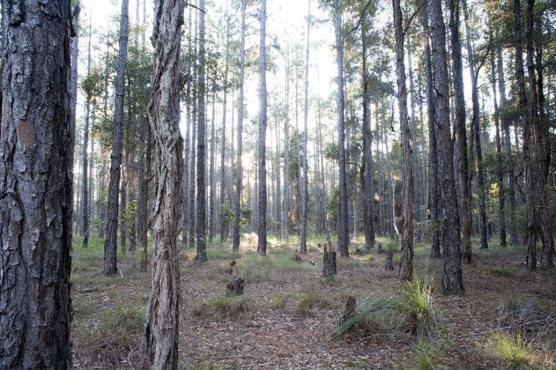 Free Image Of Pine Trees