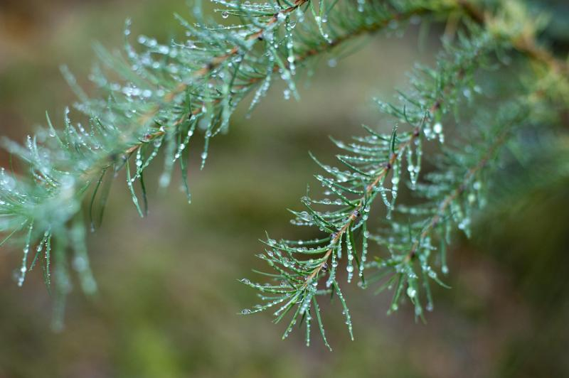 Rainy woodland with glistening water droplets beading on the green pine needles against a misty atmospheric background
