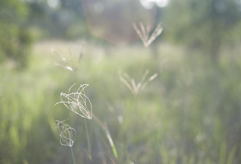 Fine delicate wild grasses growing in a meadow on a misty wet day, selective focus to the inflorescence