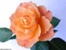 floralrose0658_dt800.jpg (54800 bytes)