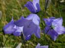 natureflowerblue1339_dt800.jpg (71375 bytes)
