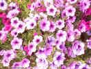 pinkflowers02573_dt800.jpg (120206 bytes)